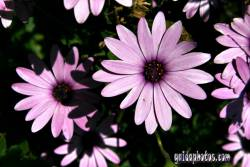 danksagungskarte-konfirmation-bluete-pink-16