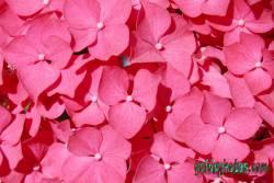 danksagungskarte-konfirmation-hortensie-pink-05