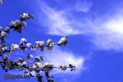 danksagungskarte-konfirmation-kirschbluete-blau-18