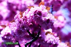 danksagungskarte-konfirmation-kirschbluete-pink-19
