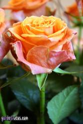 danksagungskarte-konfirmation-rose-orange-03