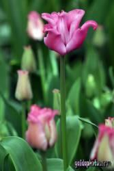 danksagungskarte-konfirmation-tulpe-pink-07