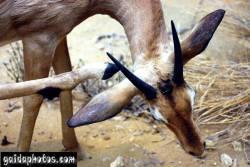 einladungskarte-antilope