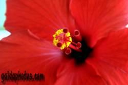einladungskarte-hibiskus