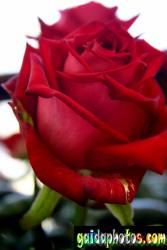 einladungskarte-rose_3