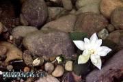 Kommunion Motiv Lotus