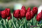 Kommunion Motiv Tulpe rot