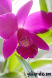 Kommunion Motiv Orchidee, pink