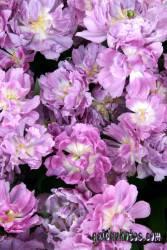 Kommunion Motiv Rose, pink