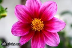 Blüte, pink