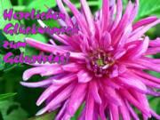 geburtstag-ecard-dahlie-pink