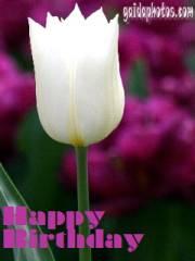 geburtstag-ecard-tulpe-weiss-englisch