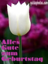 geburtstag-ecard-tulpe-weiss