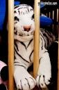Tiger, Käfig, Stofftier