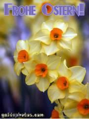 Kostenlose Ostergrusskarten Narzissen gelb