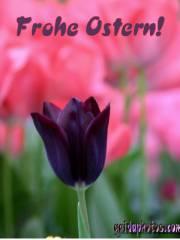 Kostenlose Ostergrusskarten Tulpe schwarz