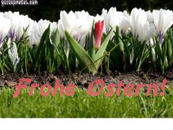 Kostenlose Ostergrusskarten Tulpe weiss