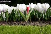 Osterbilder, Osterblumen, Krokus, Tulpe