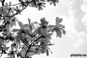 Osterbilder, Osterblumen, Magnolie