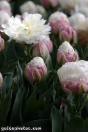 Osterbilder, Osterblumen, Tulpe weiß