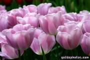 Osterbilder, Osterblumen, Tulpe pink