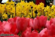 Osterbilder, Osterblumen, Tulpe