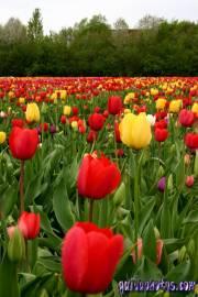 Osterbilder, Osterblumen, Tulpenfeld