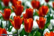 Osterbilder, Osterblumen, Tulpe rot-weiß