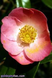 Osterbilder: Kamelie pink
