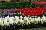 Osterbilder, Osterblumen, Tulpen, Hyazinthen