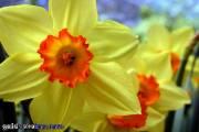 Osterbilder, Osterblumen, Narzisse, gelb