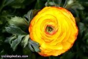 Osterbilder, Osterblumen, Ranunkel gelb