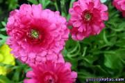 Osterbilder, Osterblumen, Ranunkel pink