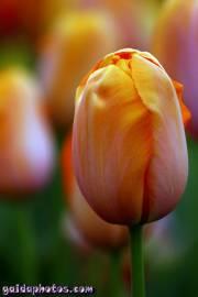 Osterbilder, Osterblumen, Tulpe gelb