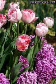 ostermotive-tulpe-hyazinthe-01