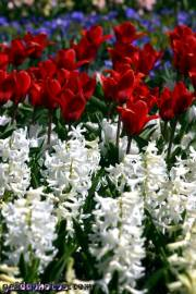 Osterbilder, Osterblumen, Tulpe, Hyazinthe