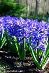 Osterbilder, Osterblumen, Hyazinthe, blau