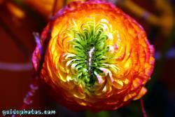 Osterbilder, Osterblumen, Ranunkel