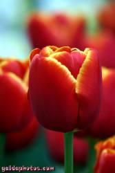 Osterbilder, Osterblumen, Tulpe rot