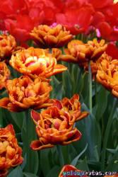 Osterbilder, Osterblumen, Tulpe gefüllt