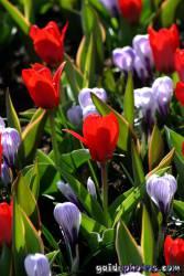 Osterbilder, Osterblumen, Tulpe, Krokus