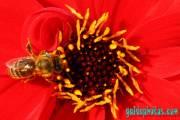 Kommunion, konfirmation, Blüte, rot, Biene