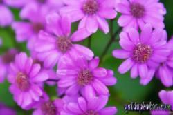 Kommunion, konfirmation, Blüte, pink