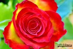 Liebesbrief zum Valentinstag: Rosen