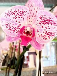 Liebeserklärung Ecard Orchidee, pink