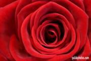 muttertagskarte rose rot 01