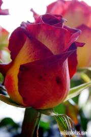 muttertagskarte rose rot 02