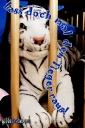vatertagskarten-tiger-gaidaphotos